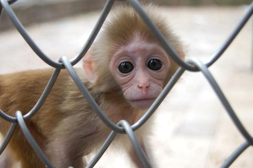 Если вы хотите побольше узнать о том, какой вклад сделали приматы в науку и медицину, то вам стоит посетить экскурсию