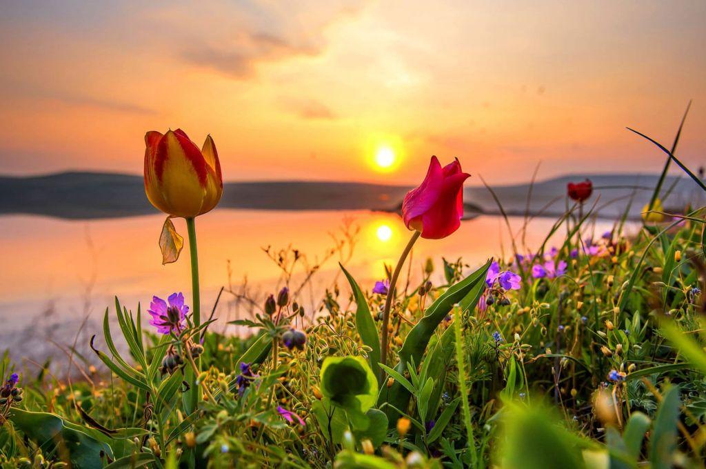 Тюльпаны Гурзуфа