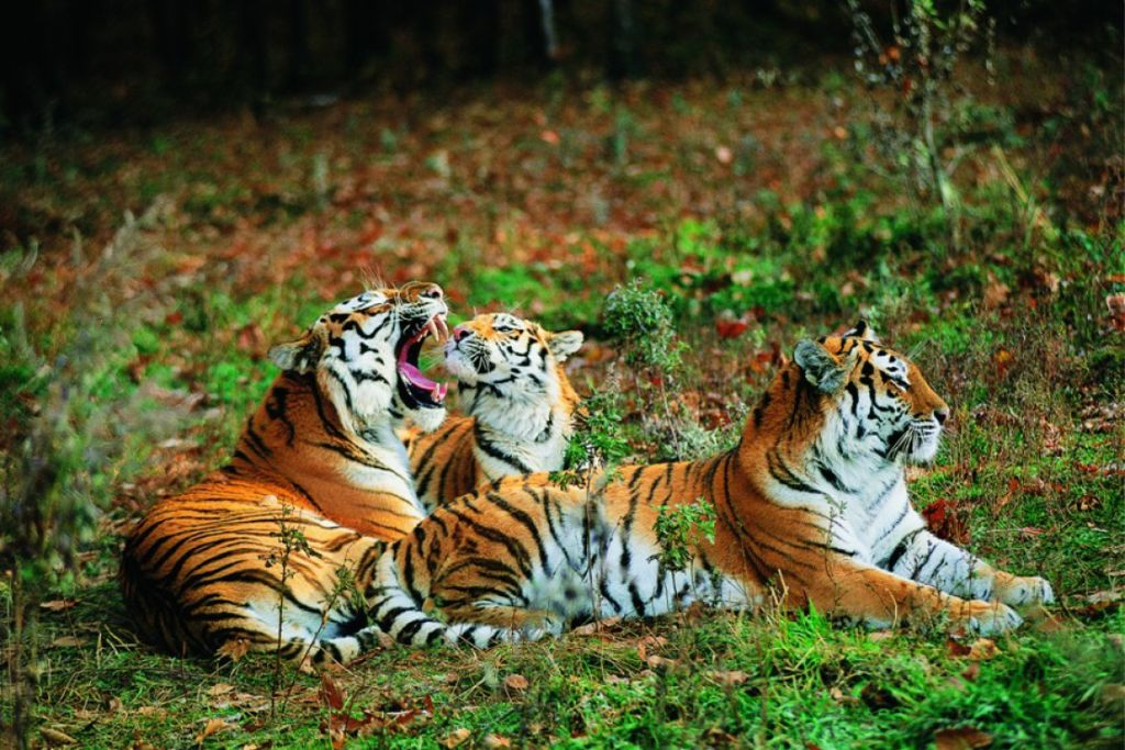 Именно здесь обитают знаменитые уссурийские тигры